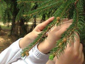 Sui rami dell'abete sono spuntati nuovo germogli color verde chiarissimo, molto tenero, perché appena nato.