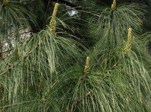 I fiori del pino sono spuntati all'estremità di ogni ramo. Sono fiori molto lunghi e strani, perché formati da tanti piccolissimi fiori disposti come i mattoncini di tante torri.