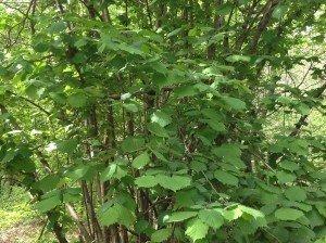 Adesso il nocciolo ha tante foglie verdi, a forma di stella, sui rami che girano o vanno dritti verso il cielo.