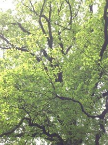 Abbiamo osservato la quercia: la sua chioma è ritornata foltissima di foglie color verde acceso.